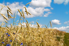Spikelets of wheat growing in a field Stock Photo