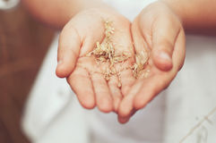 Spikelets of wheat in hand Royalty Free Stock Image