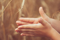 Spikelets of wheat in hand. Spikelets of wheat in the hand of the boy on the background of field Stock Photos