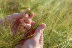 Spikelets of wheat in hand, on a clear field stock images