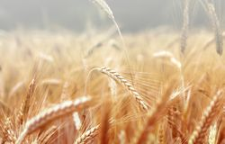Spikelets of wheat, illuminated by bright sunshine Stock Photos