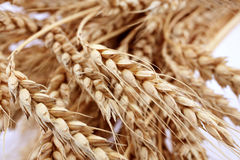 Spikelets of wheat stock photography