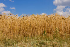 Spikelets winter wheat Triticum L. On the private sector in the summer Royalty Free Stock Images