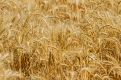 Spikelets winter wheat Triticum L. On the private sector in the summer Stock Image