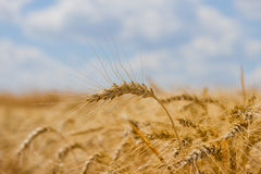 Spikelets winter wheat Triticum L. On the private sector in the summer Stock Images