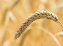 Spikelets winter wheat Triticum L. On the private sector in the summer Stock Photo