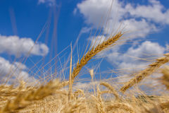 Spikelets winter wheat Triticum L. On the private sector in the summer Royalty Free Stock Photos