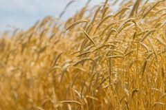 Spikelets winter wheat Triticum L. On the private sector in the summer Royalty Free Stock Image