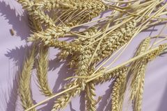 Spikelets of yellow wheat on a pink background.  royalty free stock photos