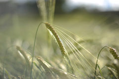 Spikes of barley / wheat Stock Photo