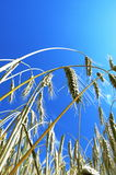 Spikes and blue sky. Field of corn and blue sky. Czech Republic Royalty Free Stock Image