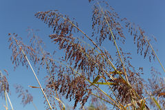 Spikes of the cereal Sorghum bicolor. With a blue sky Stock Photos