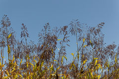 Spikes of the cereal Sorghum bicolor. With a blue sky Stock Image
