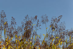 Spikes of the cereal Sorghum bicolor. With a blue sky Royalty Free Stock Image
