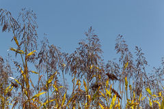Spikes of the cereal Sorghum bicolor. With a blue sky Royalty Free Stock Photos