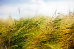 Spikes close up in the summer wheat field. Soft warm light. Natural background royalty free stock photos