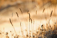 Spikes in the field. Spikes group backlit in the field at sunset Royalty Free Stock Images