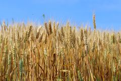 Spikes of golden ripe wheat on a blue sky background. Golden winter wheat field in sunlight closeup, shallow depth of field. Agriculture, agronomy and farming Stock Image