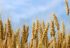 Spikes of golden ripe wheat on a blue sky background. Golden winter wheat field in sunlight closeup, shallow depth of field. Agriculture, agronomy and farming Stock Photography