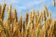 Spikes of golden ripe wheat on a blue sky background. Golden winter wheat field in sunlight closeup, shallow depth of field. Agriculture, agronomy and farming Royalty Free Stock Image