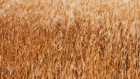 Spikes of golden wheat sway in wind in the field stock footage