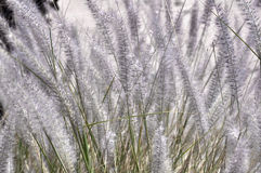 Spikes of of grass Stock Photography