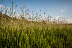 Spikes of grass with blue sky Stock Images