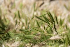 Spikes of grass. In the fields royalty free stock images