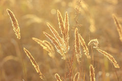 Spikes of  grass in sunlit in autumn Royalty Free Stock Photo