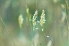 Spikes of green grass. In the field Stock Photography