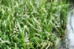Spikes of green grass Stock Photos