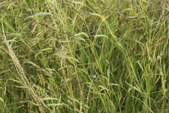 Spikes of green grass Royalty Free Stock Images