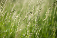 Spikes of green grass on a summer meadow closeup Royalty Free Stock Image