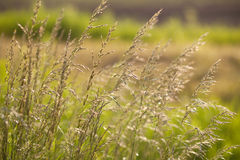 Spikes of green grass on summer meadow closeup at dawn Stock Photos