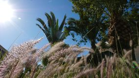 Spikes of green grass swaying on wind on a sunny summer day stock video