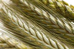 Spikes of green wheat stock photo