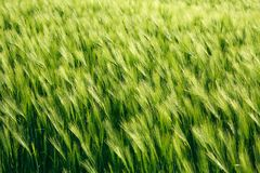 Spikes of green wheat growing in summer, agriculture background Stock Photos