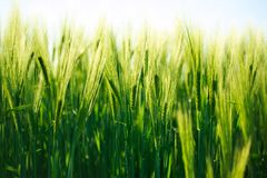 Spikes of green wheat growing in summer, agriculture background Stock Images