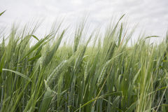 Spikes of green wheat in spring Stock Photos