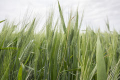Spikes of green wheat in spring Royalty Free Stock Images