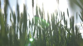 Spikes of green wheat. In the sunset stock footage