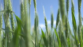 Spikes of green wheat. In the wind stock video