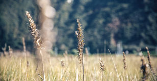 Spikes in a meadow over nature background Royalty Free Stock Images