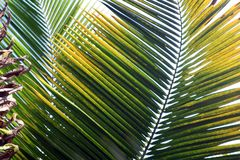 Spikes of Palm. The light filtering through these palm fronds, found on St. John in the USVI, creates layers of green and yellow spikes Royalty Free Stock Photography
