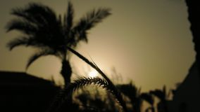 Spikes and palm trees silhouette at the sunset. Grass ear spikes and palm trees silhouette at the sunset. Spikelets and leaves are flying in the wind against the stock footage