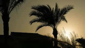 Spikes and palm trees silhouette at the sunset. Grass ear spikes and palm trees silhouette at the sunset. Spikelets and leaves are flying in the wind against the stock video footage
