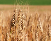 Spikes of ripe wheat. Golden winter wheat field in sunlight closeup, shallow depth of field. Agriculture, agronomy and farming background. Harvest concept Stock Image