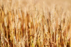 Spikes of ripe wheat. Golden winter wheat field in sunlight closeup, shallow depth of field. Agriculture, agronomy and farming background. Harvest concept Royalty Free Stock Photos