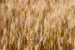 Spikes of ripe wheat. Golden winter wheat field in sunlight closeup, shallow depth of field. Agriculture, agronomy and farming background. Harvest concept Royalty Free Stock Photo