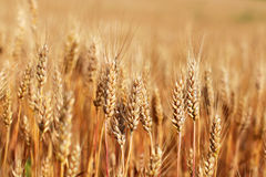 Spikes of ripe wheat. Golden winter wheat field in sunlight closeup, shallow depth of field. Agriculture, agronomy and farming background. Harvest concept Stock Photography